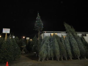 Christmas Trees ready for you to take home.